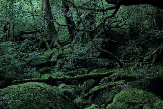 屋久島八万寿茶園